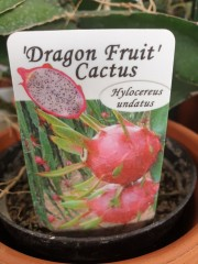 Кактус Dragon Fruit Cactus резник