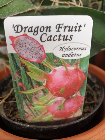 Кактус Dragon Fruit Cactus резник