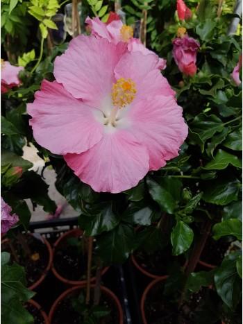Хибискус  дървовиден розов PR5313