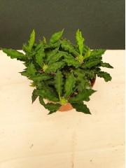 Еуфорбия Euphorbia decaryi PR5336