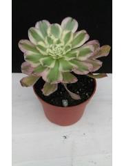 Еониум Aeonium arboreum variegated PR5337