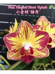 Орхидея Фаленопсис (Phal. Fangmei Sweet 'Splash')