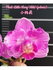 Орхидея Фаленопсис (Phal. Little Mary 'Miki' (peloric))