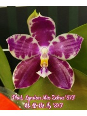 Орхидея Фаленопсис (Phal. Lyndon Mix Zebra '873')