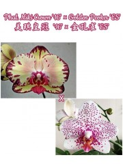 Орхидея Фаленопсис (Phal. Miki Crown '16' × Golden Peoker 'ES')