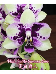 Орхидея Фаленопсис (Phal. Jia Ho Summer Love)