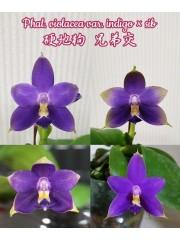 Орхидея Фаленопсис (Phal. violacea var. indigo × sib)