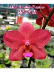 Орхидея Фаленопсис (Phal. Buddha's Treasure)