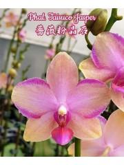 Орхидея Фаленопсис (Phal. Taisuco Jasper)