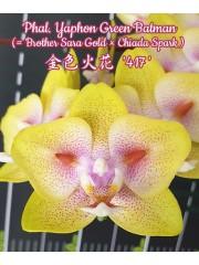 Орхидея Фаленопсис (Phal. Yaphon Green Batman (= Brother Sara Gold × Chiada Spark ))