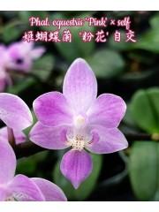 Орхидея Фаленопсис (Phal. equestris 'Pink' × self)