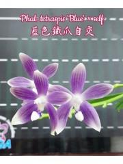 Орхидея Фаленопсис (Phal. tetraspis 'Blue' × self)