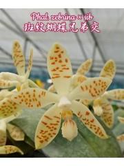 Орхидея Фаленопсис (Phal. zebrina × sib)