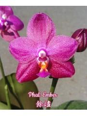 Орхидея Фаленопсис (Phal. Ember)