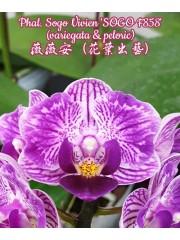 Орхидея Фаленопсис (Phal. Sogo Vivien 'SOGO F858' (variegata & peloric))