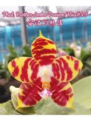 Орхидея Фаленопсис (Phal. Brother Ambo Passion 'Hsia#49')