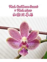 Орхидея Фаленопсис (Phal. Caribbean Sunset × minus)