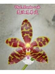 Орхидея Фаленопсис (Phal. Mambo × sib)