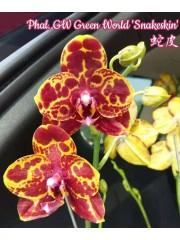 Орхидея Фаленопсис (Phal. GW Green World 'Snakeskin')