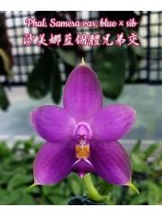 Орхидея Фаленопсис (Phal. Samera var. blue × sib)