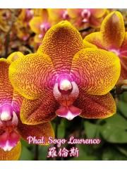 Орхидея Фаленопсис (Phal. Sogo Lawrence)