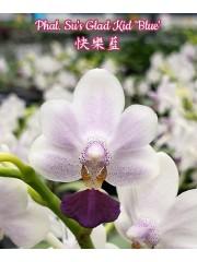 Орхидея Фаленопсис (Phal. Su's Glad Kid 'Blue')