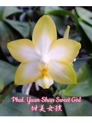 Орхидея Фаленопсис (Phal. Yuan Shan Sweet Girl)