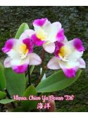 Орхидея (Hknsa. Chien Ya Ocean 'TM')