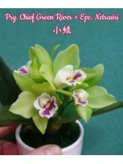Орхидея (Pry. Chief Green River × Epc. Netrasiri)