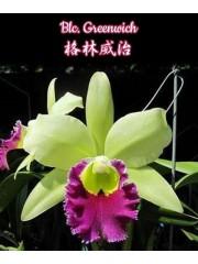 Орхидея (Blc. Greenwich)
