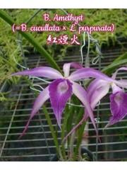 Орхидея (B. Amethyst (=B. cucullata × L. purpurata))
