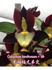 Орхидея (Catasetum tenebrosum × sib)