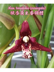 Орхидея (Max. tenuifolia (variegata))