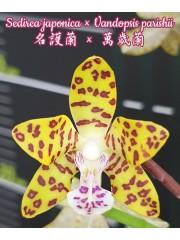 Орхидея (Sedirea japonica × Vandopsis parishii)