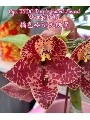 Орхидея (Cyc. TIDC Purple Frilled Lizard 'Orange Coffee')