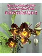Орхидея (Catasetum Gerhard Leiste (= pileatum × Jumbo Pearl))