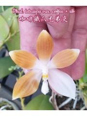 Орхидея Фаленопсис (Phal. tetraspis var. coffee × sib)