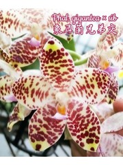 Орхидея Фаленопсис (Phal. gigantea × sib)