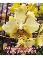 Орхидея Фаленопсис (Phal. stuartiana var. nobilis × sib)