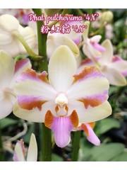 Орхидея Фаленопсис (Phal. pulcherrima '4N')