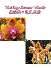 Орхидея Фаленопсис (Phal. Sogo Lawrence × Almanis)