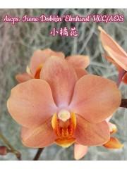 Орхидея (Ascps. Irene Dobkin 'Elmhurst' HCC/AOS)