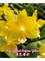 Орхидея Фаленопсис (Phal. Yaphon Perfume 'Yellow')