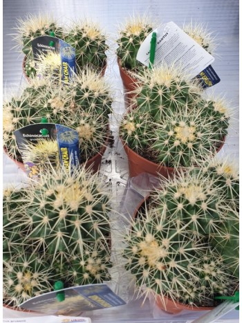 Ехинокактус Грузони - Еchinocactus Grusonii