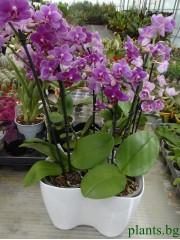 Двойна кашпа  за орхидеи - Бяла - S362