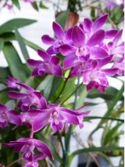 Oрхидея Дендробиум (Dendrobium Berry Oda)