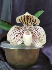 Орхидея Пафиопедилум (Paphiopedilum Leucochilum)