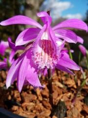 Орхидея Плейоне (Pleione 'Tongariro')