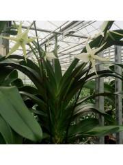 Oрхидея Ангрекум (Angraecum Veitchii)