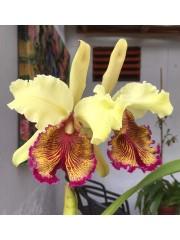 Орхидея Kaтлея (Cattleya Dowiana)